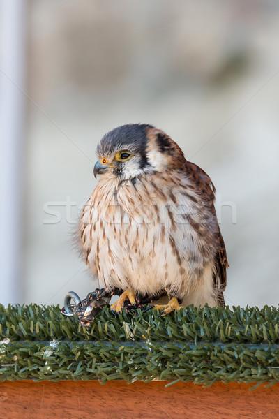 American Kestrel (Falco sparverius) Stock photo © digoarpi