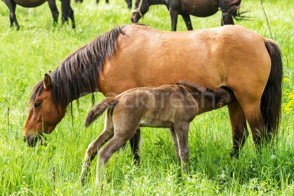 Horse family  Stock photo © digoarpi