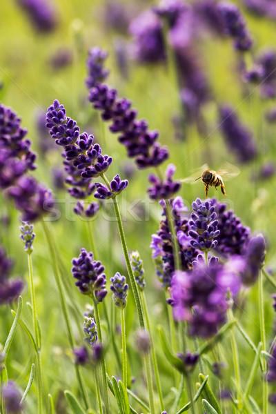 Európai háziméh közelkép levendula virágok virág Stock fotó © digoarpi