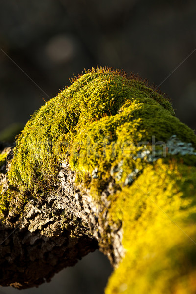 Moss Stock photo © digoarpi