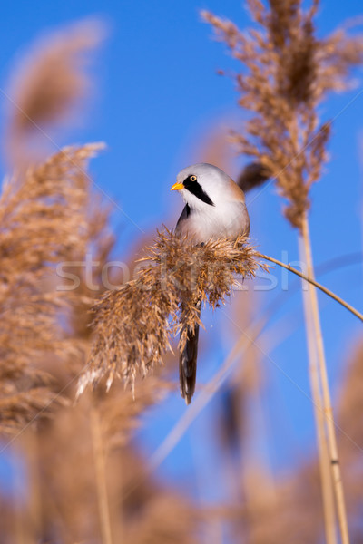 Bearded tit on the reed, male Stock photo © digoarpi