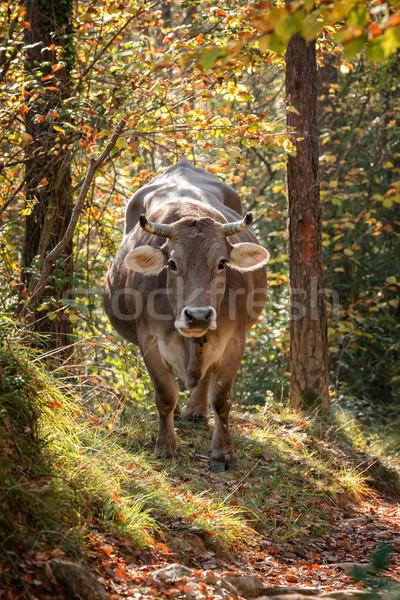 Gray spanish cow Stock photo © digoarpi