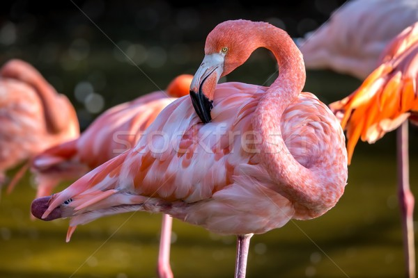 Pretty flamingo up close shot Stock photo © digoarpi