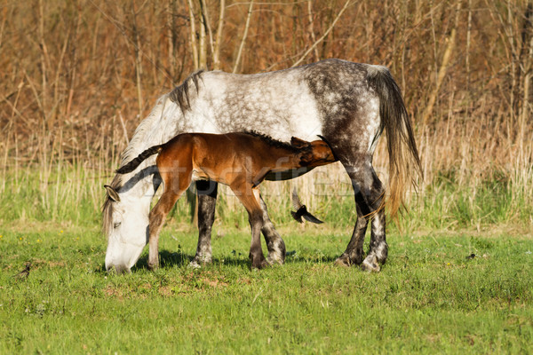 Stock photo: Horse family