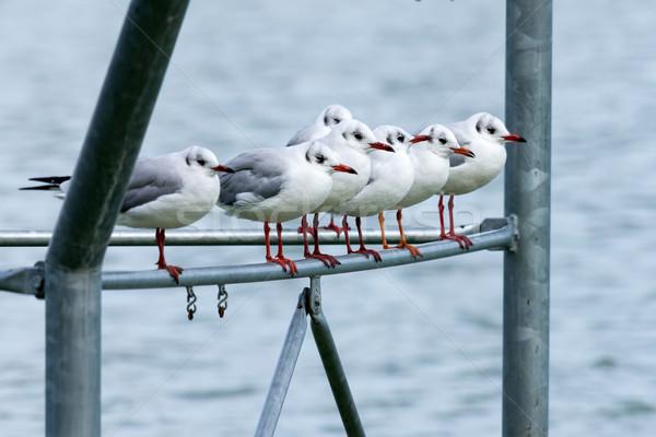 Seagulls Stock photo © digoarpi