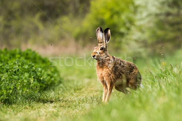 European hare (Lepus europaeus) Stock photo © digoarpi