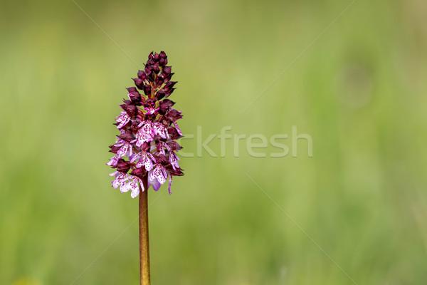 Lady Orchid (Orchis purpurea)      Stock photo © digoarpi