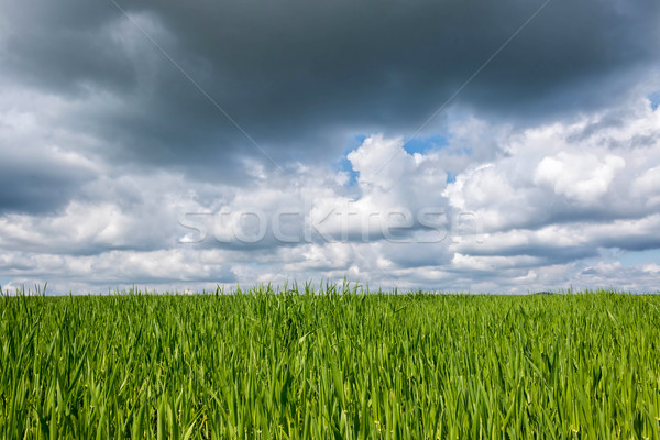 Green cereal field Stock photo © digoarpi