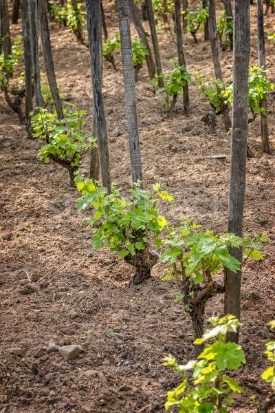 Grape plant Stock photo © digoarpi