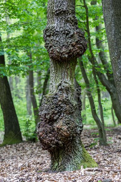 Edad roble primavera árbol hierba forestales Foto stock © digoarpi