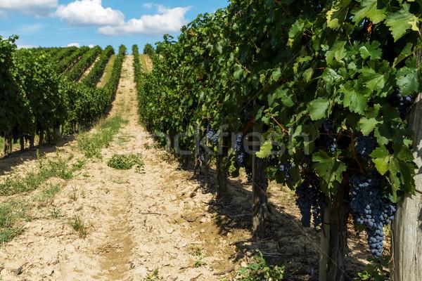 Uvas belo paisagem fruto beleza Foto stock © digoarpi