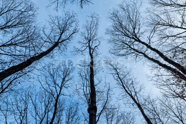 Dąb drzew zimą drzewo drewna Zdjęcia stock © digoarpi