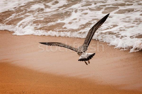 Sirály fiatal repülés tenger homok égbolt Stock fotó © digoarpi