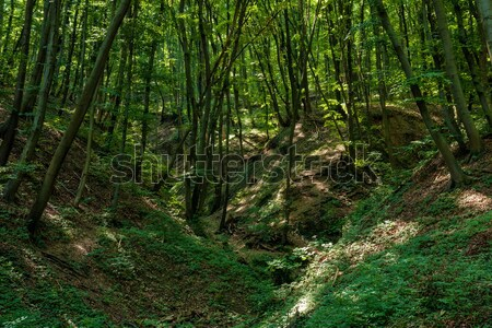 Floresta primavera belo folha verão agricultura Foto stock © digoarpi