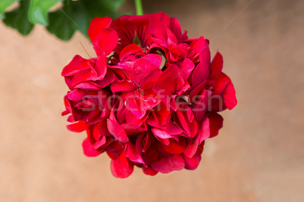 Red geranium flower Stock photo © digoarpi
