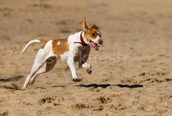 Stockfoto: Hond · spelen · zand · voorjaar · natuur · zomer