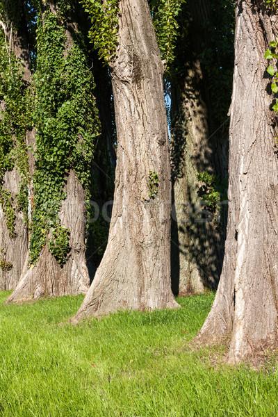 Grupy topola drzew drewna liści zielone Zdjęcia stock © digoarpi