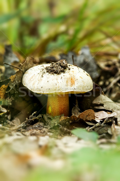 Paddestoel voedsel bos mooie bos natuurlijke Stockfoto © digoarpi
