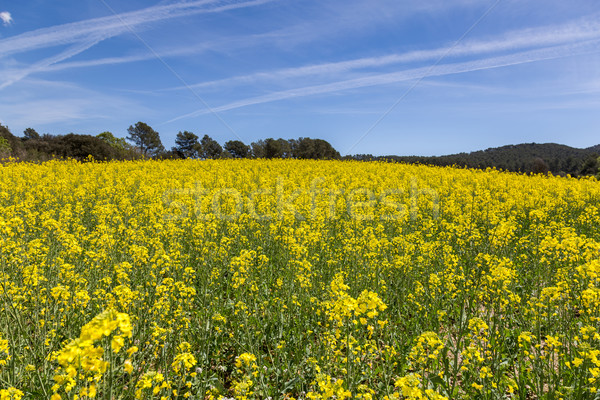 Blooming colza field, blue cloudy sky above Stock photo © digoarpi