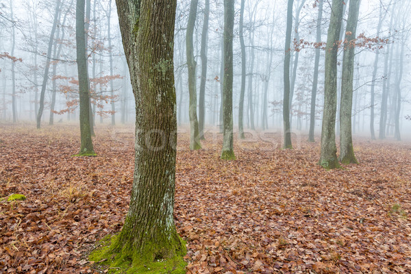 Mystic oak forest at the autumntime Stock photo © digoarpi