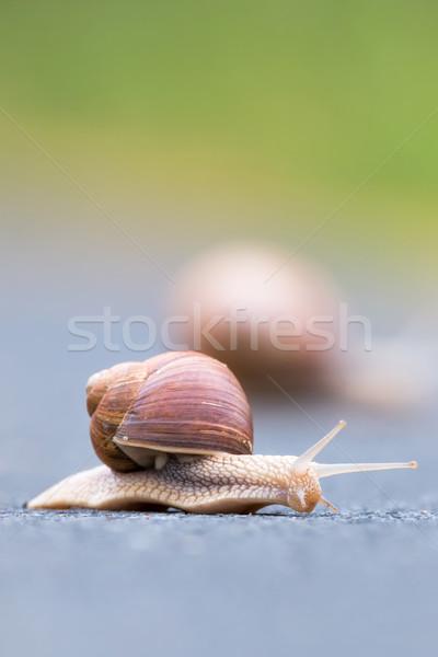 Burgundy snail (Helix pomatia) Stock photo © digoarpi