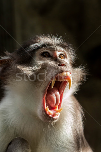 Sooty mangabey Stock photo © digoarpi
