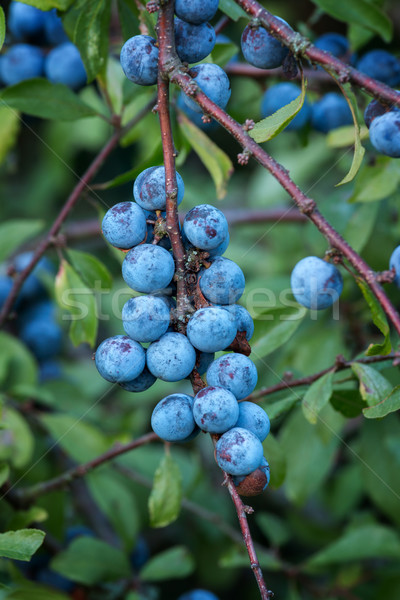 Sloe bush with many fruits Stock photo © digoarpi