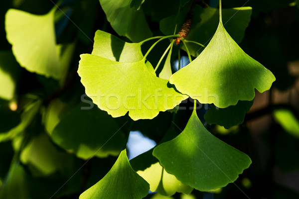 Ginkgo biloba  Stock photo © digoarpi