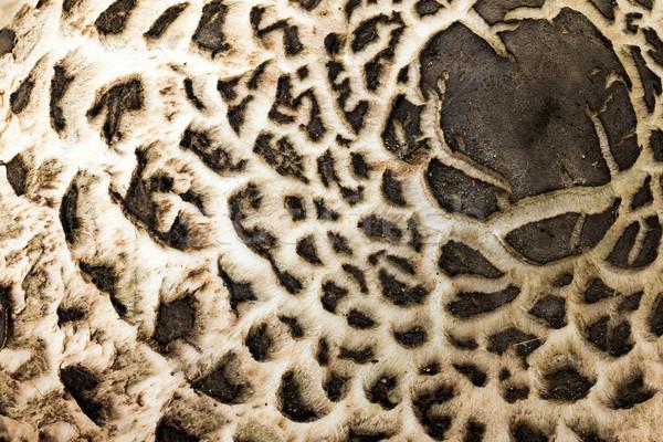 Parasol mushroom (Macrolepiota procera) Stock photo © digoarpi