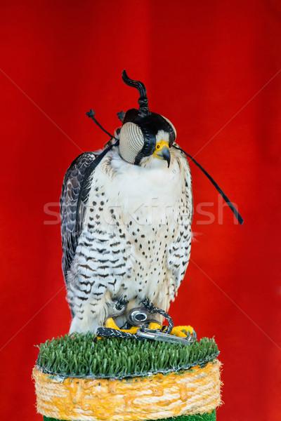 Caça falcão espera ação natureza pássaro Foto stock © digoarpi