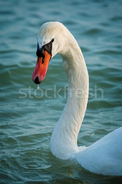 лебедя закат свет природы красоту Сток-фото © digoarpi