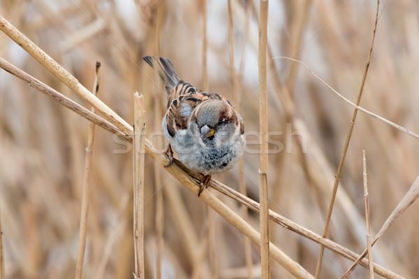 スズメ 小さな 男性 鳥 冬 女性 ストックフォト © digoarpi