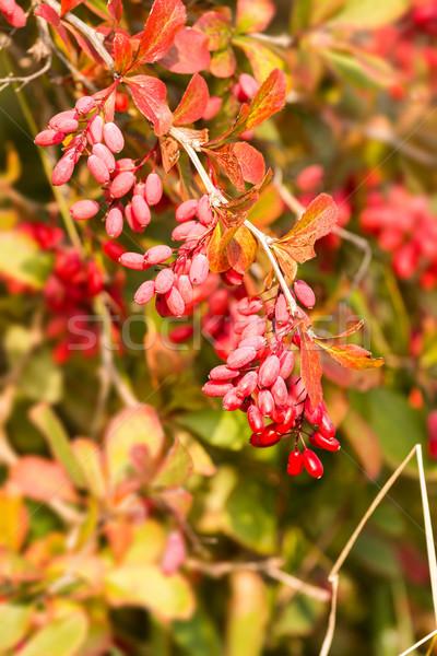 European barberry Stock photo © digoarpi