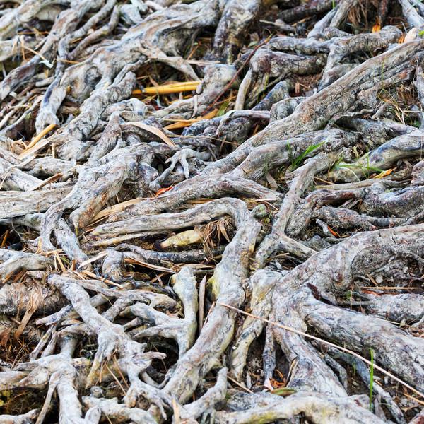 интересный корней поверхность дерево лист фон Сток-фото © digoarpi