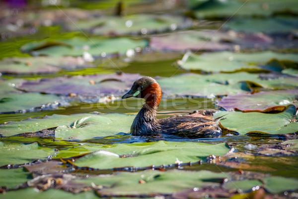 Little Little Grebe bird on the lake Stock photo © digoarpi