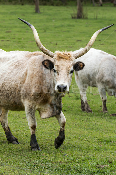 Belo húngaro cinza touro retrato família Foto stock © digoarpi