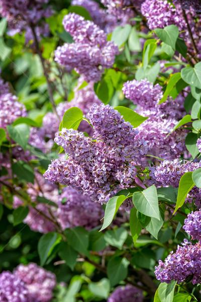 Stock fotó: Orgona · virágzó · szín · növény · fehér · ág