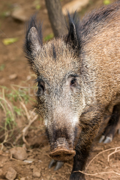 Young wild boar Stock photo © digoarpi