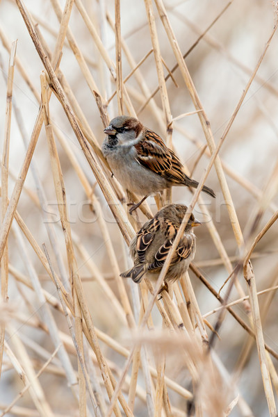 Jovem masculino pardal pássaro inverno pena Foto stock © digoarpi