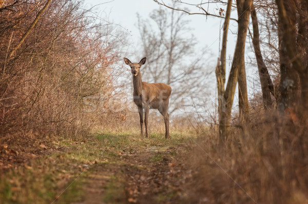 Stock photo: Red deer portrait on the forest
