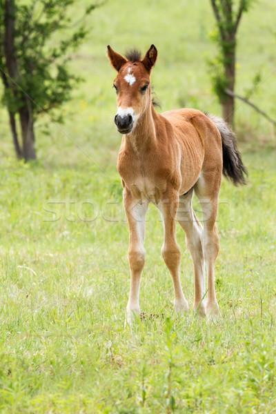 Young foal  Stock photo © digoarpi
