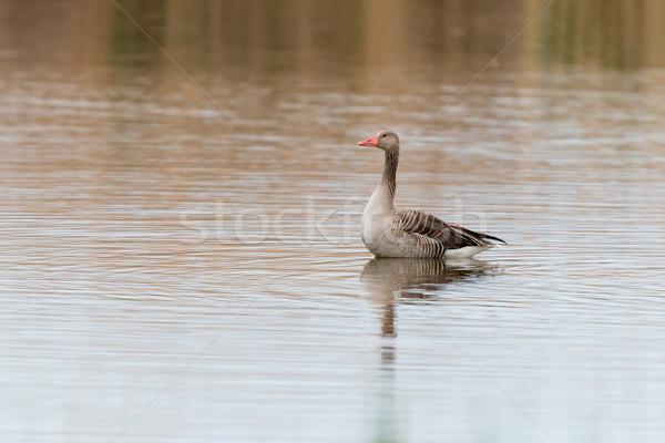 Anser fabalis, Bean Goose, Lower rhine family Stock photo © digoarpi