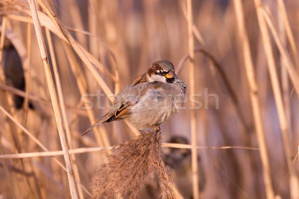 Młodych mężczyzna wróbel charakter piękna ptaków Zdjęcia stock © digoarpi