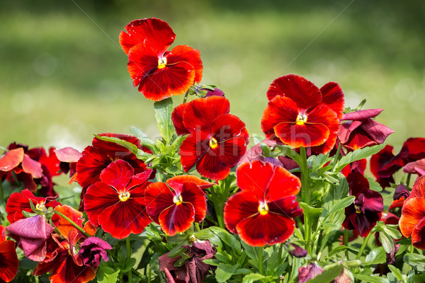 Red pansies in garden Stock photo © digoarpi