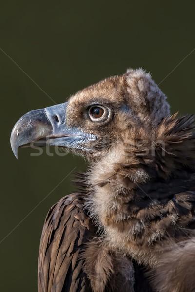 Dögkeselyű arc madár portré néz állatkert Stock fotó © digoarpi
