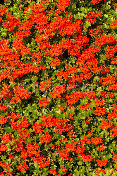 Red garden geranium flowers Stock photo © digoarpi