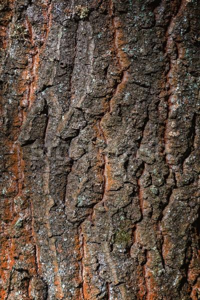 Oude eik boom bos park Stockfoto © digoarpi