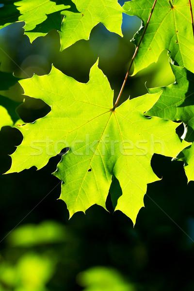 Esdoorn bladeren mooie harmonisch bos detail Stockfoto © digoarpi
