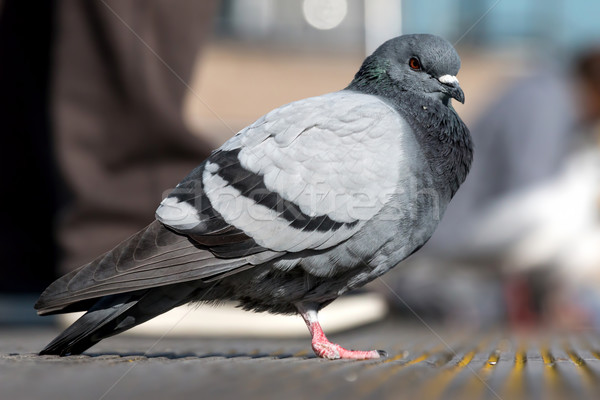 Pigeon nature photo blanche animaux profile Photo stock © digoarpi