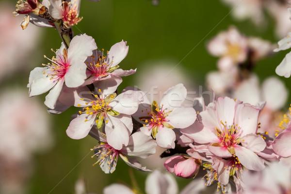 Mandula virágok gyönyörű virág fa természet Stock fotó © digoarpi